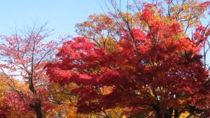 市道藻岩山通支線のヤマモミジの紅葉