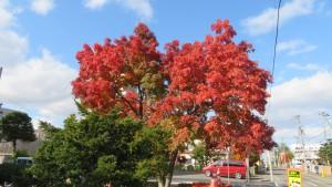 西山鼻公園のナナカマドの紅葉