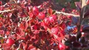 コケモモの紅葉と赤い果実
