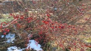 ニシキギの赤い果実