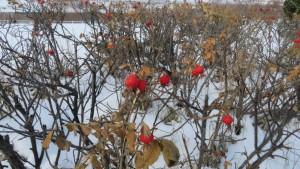ハマナスの赤い果実