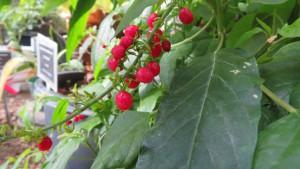 ジュズサンゴの赤い果実