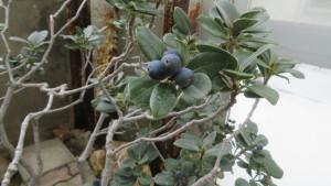 マルバシャリンバイの黒い果実