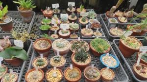 温室のサボテン類