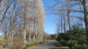 ポプラ並木と園路