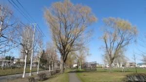 シダレヤナギ並木と野球場