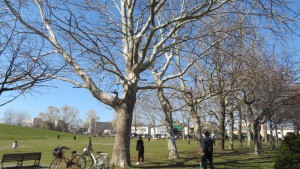 プラタナスの木立と芝生広場