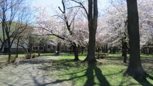 園路とサクラの木立
