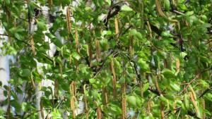 シラカバの花
