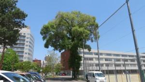 二条小学校のハルニレの巨木