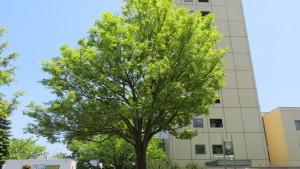 ナナカマドと札幌医科大学付属病院