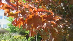 ノルウェ―カエデの葉