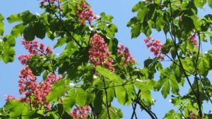 ベニバナトチノキの花と葉