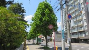 市道西17丁目線とトチノキ並木