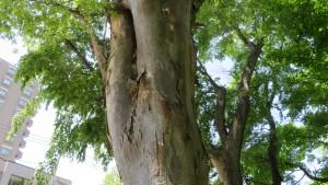 知事公館のケヤキの巨木