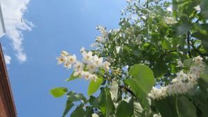 ハクウンボクの花と葉
