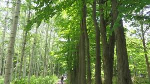 シラカバとカツラの並木