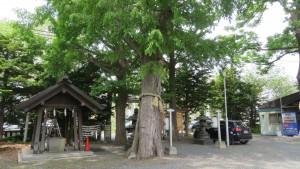 札幌市保存樹木「ハルニレ」と手水舎