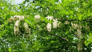 ニセアカシヤの花