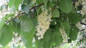 ハクウンボクの花