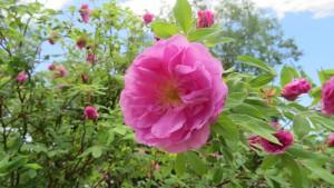 ヤエハマナスの花