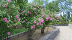 花壇広場のヤエハマナス