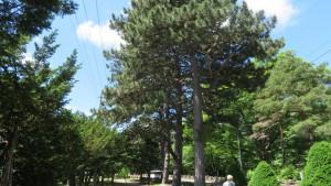 ヨーロッパクロマツの並木