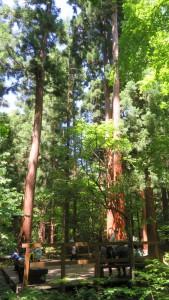 スギの木立