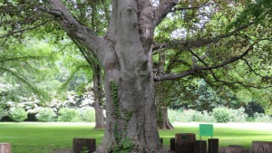 ムラサキセイヨウブナの巨木