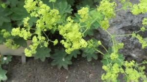 ハゴロモグサの花