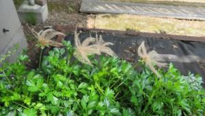 チングルマの綿毛(種子)