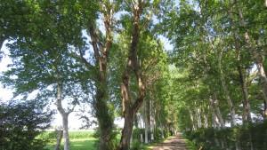 ポプラ並木とシラカバ並木