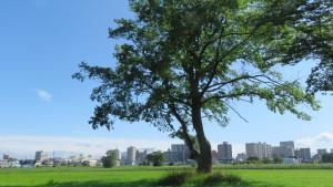 ハルニレの巨木と福住のビル群を望む