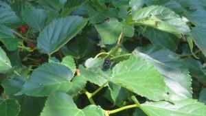 クワの黒い果実