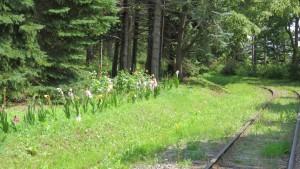 リリートレイン線路わきに咲く花