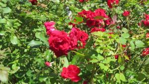 バラ'シャンプレイン'