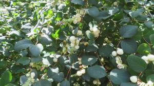 セッコウボクの白い果実