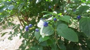 サワフタギの藍色の果実
