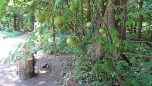 ツリバナの若い果実
