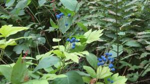 ルイヨウボタンの青い果実