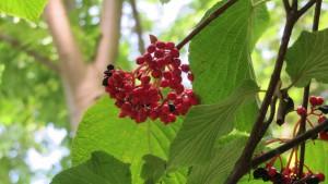 オオカメノキの赤い果実