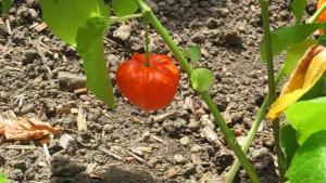 ホオズキの果実