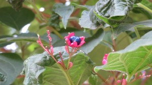 クサギの紺色の果実と赤いガク
