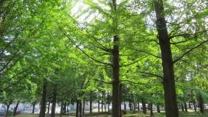 イチョウの木立