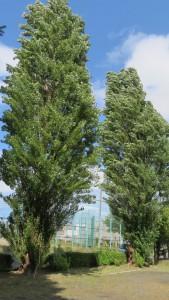 ポプラの巨木