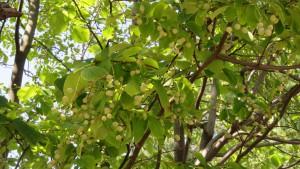ハクウンボクの葉と果実