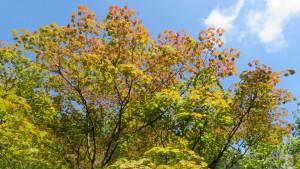 ハウチワカエデの黄葉