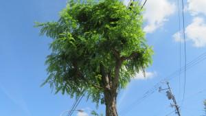 ニセアカシアの街路樹