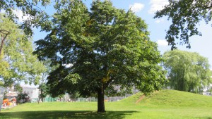 シナノキの巨木
