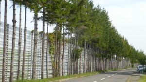 市道米里東通線のドイツトウヒ並木